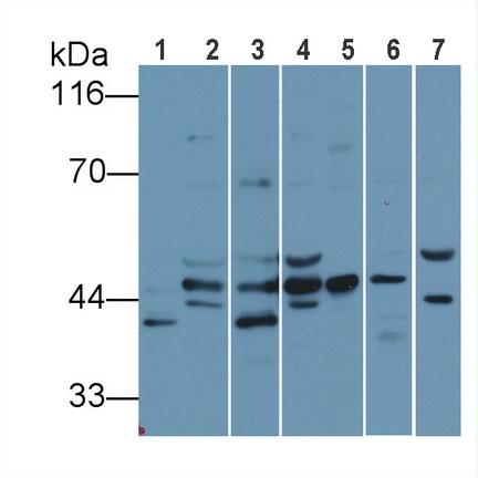 Anti-Extracellular Signal Regulated Kinase 1 (ERK1) Polyclonal Antibody