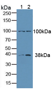 Anti-Extracellular Signal Regulated Kinase 1 (ERK1) Polyclonal Antibody