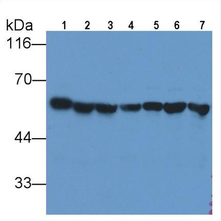 Anti-Tubulin Beta (TUBb) Monoclonal Antibody