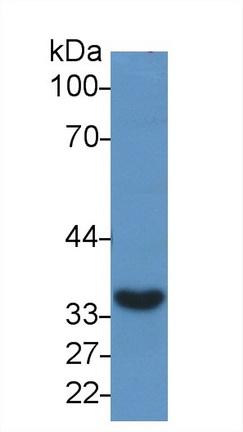 Anti-Glyceraldehyde-3-Phosphate Dehydrogenase (GAPDH) Monoclonal Antibody