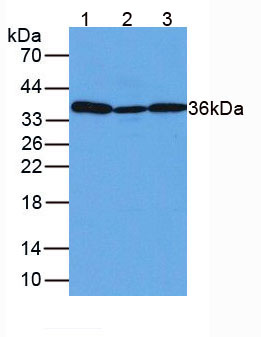 Anti-Glyceraldehyde-3-Phosphate Dehydrogenase (GAPDH) Polyclonal Antibody