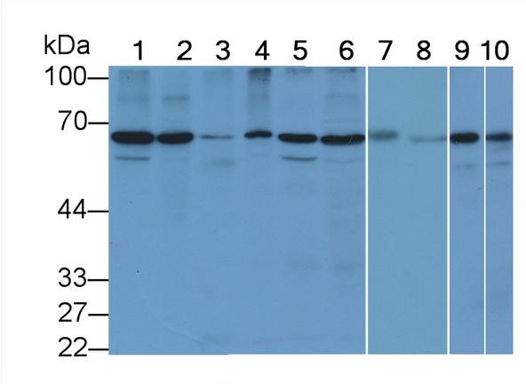 Anti-Lamin B1 (LMNB1) Monoclonal Antibody