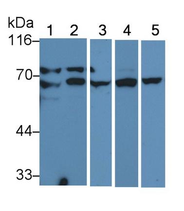 Anti-Lamin A/C (LMNA) Monoclonal Antibody