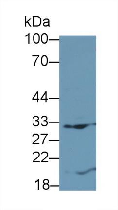 Monoclonal Antibody to FMS Like Tyrosine Kinase 3 Ligand (Flt3L)