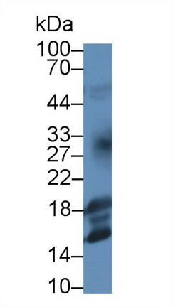 Monoclonal Antibody to Insulin Like Growth Factor 1 (IGF1)