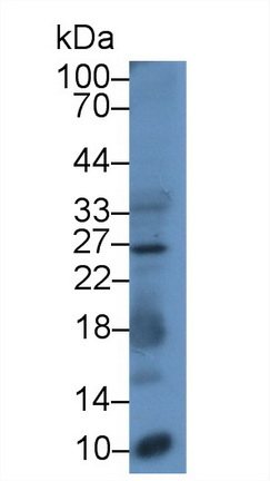 Monoclonal Antibody to Ubiquitin (Ub)