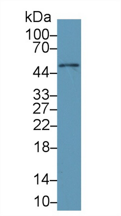 Monoclonal Antibody to Galactosidase Alpha (GLa)
