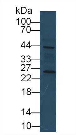Monoclonal Antibody to Cyclophilin B (CYPB)