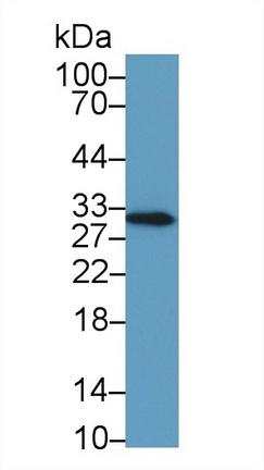 Monoclonal Antibody to High Mobility Group Protein 1 (HMG1)