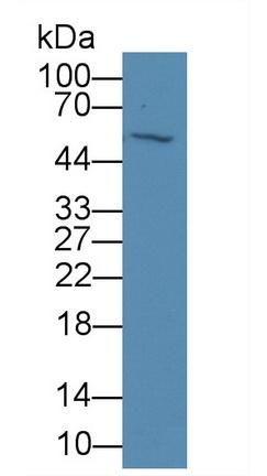 Monoclonal Antibody to Visfatin (VF)