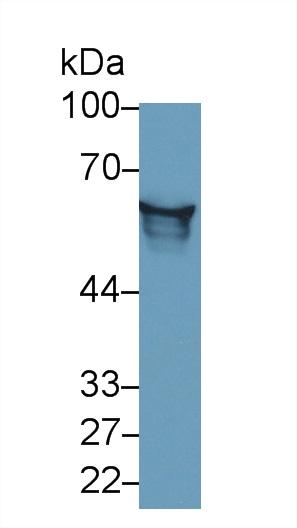 Monoclonal Antibody to Angiotensinogen (AGT)