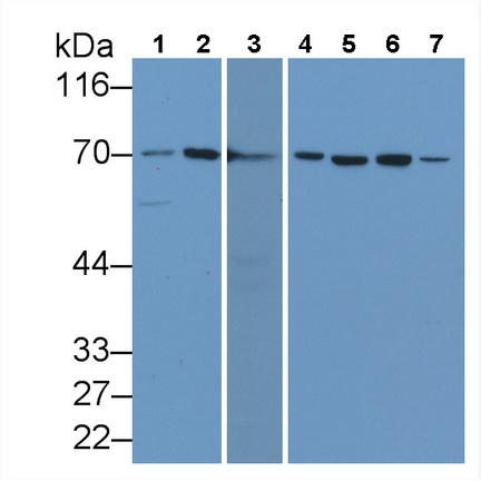 Monoclonal Antibody to Heat Shock 70kDa Protein 1A (HSPA1A)