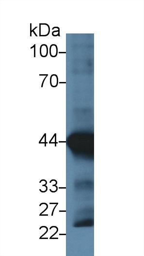 Monoclonal Antibody to Actin Alpha 1, Cardiac Muscle (ACTC1)