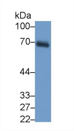 Monoclonal Antibody to Dystrophin (DMD)