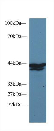 Monoclonal Antibody to Indoleamine-2,3-Dioxygenase (IDO)