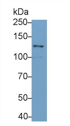 Monoclonal Antibody to Laminin Gamma 2 (LAMC2)