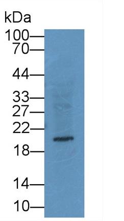 Monoclonal Antibody to Relaxin 3 (RLN3)