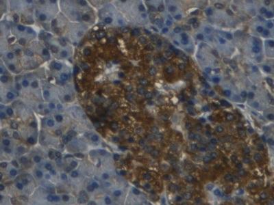 Monoclonal Antibody to Regenerating Islet Derived Protein 3 Gamma (REG3g)