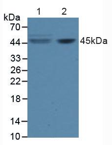 Polyclonal Antibody to Factor Related Apoptosis (FAS)