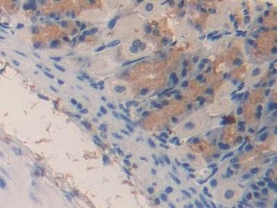 Polyclonal Antibody to Monocyte Chemotactic Protein 3 (MCP3)