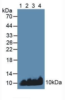 Polyclonal Antibody to Apolipoprotein C1 (APOC1)
