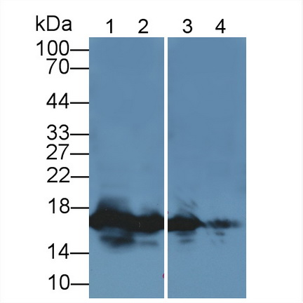 Polyclonal Antibody to Histone H3 (H3)