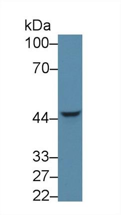 Polyclonal Antibody to Neuronal Pentraxin I (NPTX1)