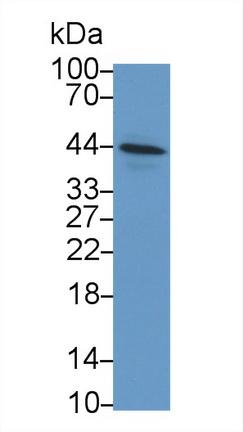 Polyclonal Antibody to Inhibin A (INHA)