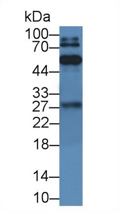 Polyclonal Antibody to Immunoglobulin G (IgG)