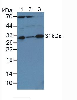 Polyclonal Antibody to Caspase 3 (CASP3)
