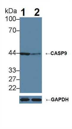 Polyclonal Antibody to Caspase 9 (CASP9)