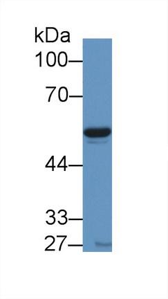 Polyclonal Antibody to Visfatin (VF)