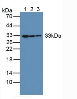 Polyclonal Antibody to Complement component 1 Q subcomponent-binding protein, mitochondrial (C1QBP)