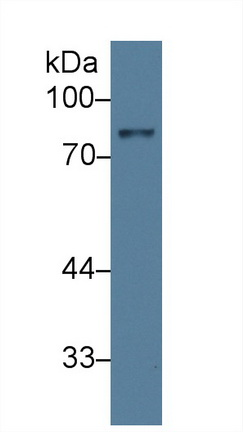Polyclonal Antibody to Amiloride Binding Protein 1 (ABP1)