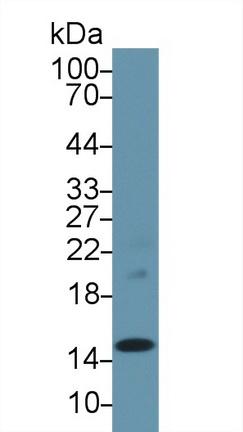 Polyclonal Antibody to Prealbumin (PALB)