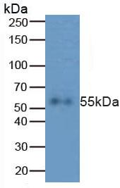 Polyclonal Antibody to Caspase 8 (CASP8)