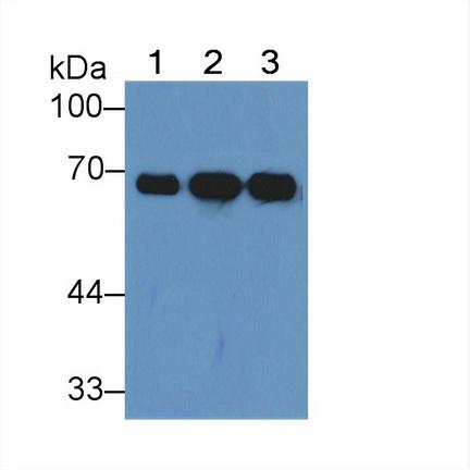 Polyclonal Antibody to Albumin (ALB)