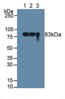 Polyclonal Antibody to Polymeric Immunoglobulin Receptor (PIGR)