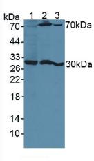 Polyclonal Antibody to Pregnancy Specific Beta-1-Glycoprotein 1 (PSG1)