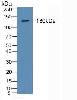 Polyclonal Antibody to Integrin Alpha 2 (ITGa2)