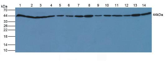Polyclonal Antibody to Beta Actin (ACTB)