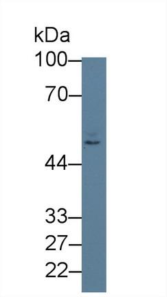 Polyclonal Antibody to Nectin 2 (NECTIN2)