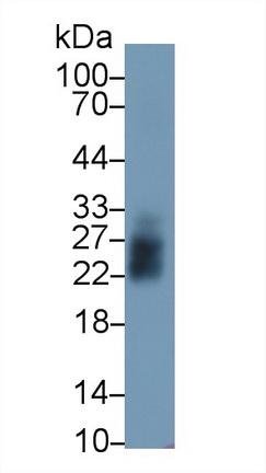Polyclonal Antibody to Mannose Binding Lectin (MBL)