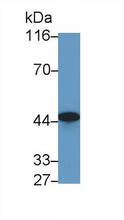 Polyclonal Antibody to Cluster Of Differentiation 147 (CD147)