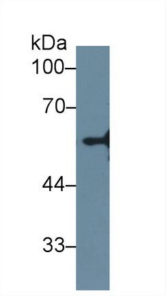 Polyclonal Antibody to Neuraminidase (NEU)