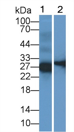 Polyclonal Antibody to Surfactant Protein C (SP-C)