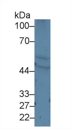 Polyclonal Antibody to Keratin 10 (KRT10)