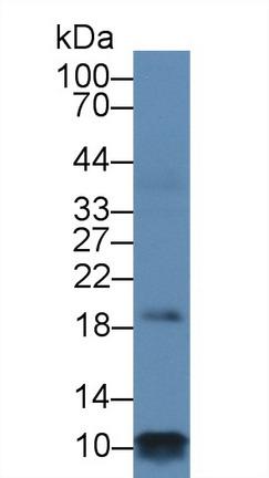 Polyclonal Antibody to Phospholamban (PLN)