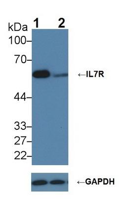 Polyclonal Antibody to Interleukin 7 Receptor (IL7R)
