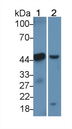 Polyclonal Antibody to Apolipoprotein A4 (APOA4)